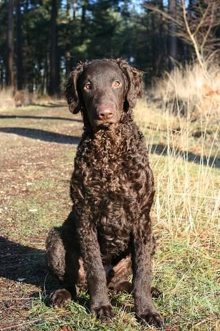 Curly-Coated Retriever, magnificent dogs!