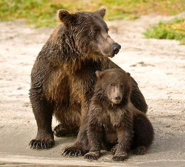 Boz ayı ile yavru