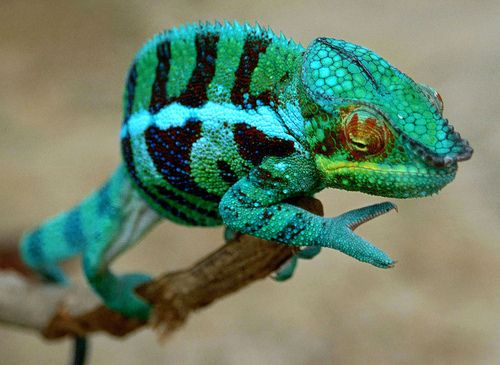 theanimalblog:  Panther Chameleon. Photo by howyeow