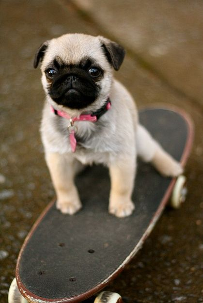 A pug skateboarding: | Proof That Pugs Make Literally Everything 100 Times Better