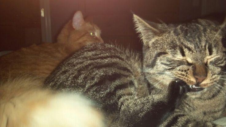 snowshoe cat names