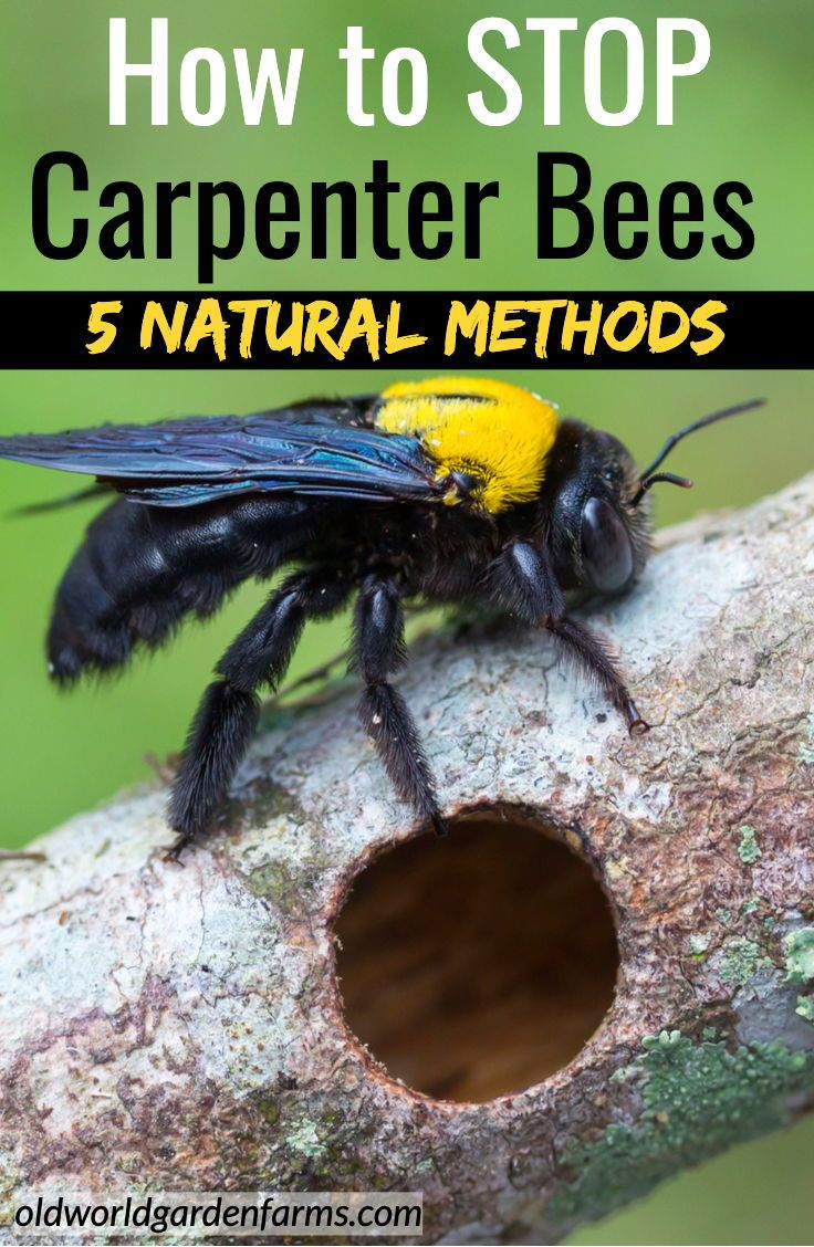 442c9a7b5c56dd8fe484822a98ced8b8 - How To Get Rid Of Carpenter Bees Outside Naturally
