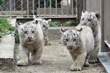 These Baby White Tigers Are Adorably Majestic