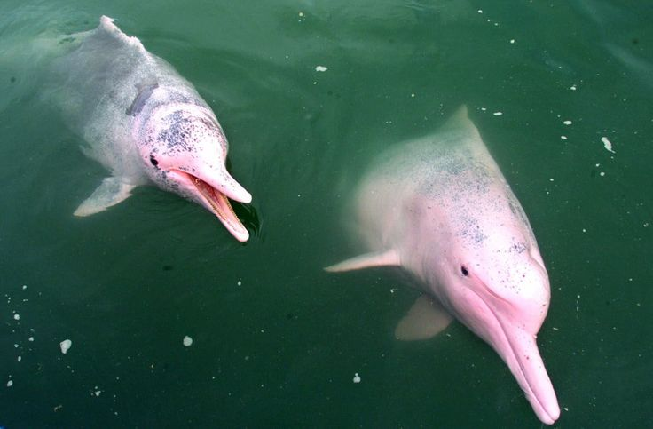 The one spotted in Louisiana is actually an albino bottlenose dolphin, which makes her a very rare animal.