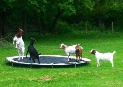 Goats                                                                                                                                                                                 More