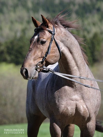 quarter horse | Tereza Huclová - fotografie koní