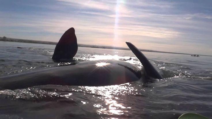 Kayak levantado por ballena en Puerto Madryn