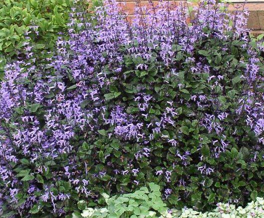12 Best Flores Plectranthus Ecklonii Mona Lavender