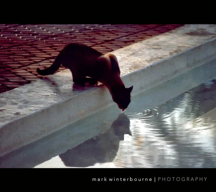 https://flic.kr/p/91VS2H | Thirsty Whiskers ! | Captured this little fellow drinking out of our swimming pool in San Augustin, Gran Canaria...I just loved the ripples from his tongue.. (Scan from 6x4 print)