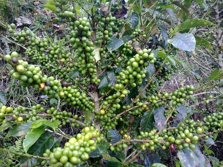 Los beneficios de Green Coffee Bean te sorprenderán.#Curiosidades