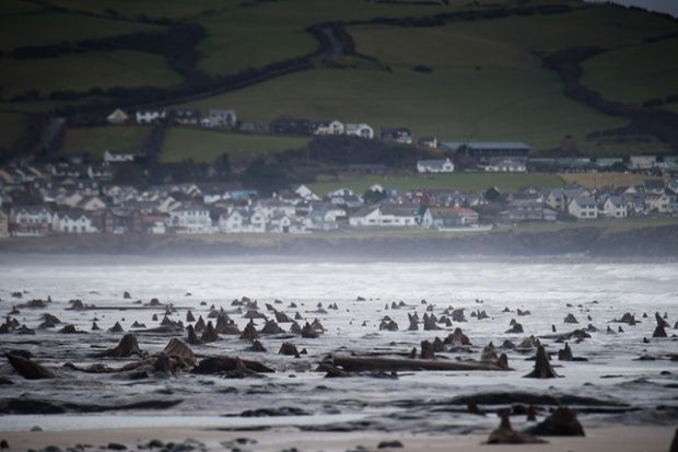 Prehistoric forest uncovered by storms in Cardigan Bay - in pictures. The skeletal trees of Borth forest - last alive 4,500 years ago