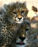 Cheetah mum and her cub @mountcamdeboo Great Game Viewing opportunities in the heart of the karoo #LoveTheKaroo