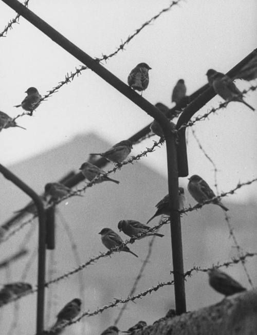 Sparrows on the Wall of Berlin which separated East and West Berlin by Paul Schutzer. 1962. S)