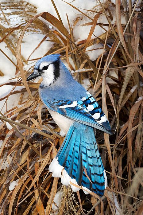 When a blue jay is nesting or with their family, their crests come down. Like their blue but not their anger...