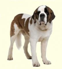 Saint Bernard Puppies For Sale In DE MD NY NJ Philly DC and Baltimore - Greenfield Puppies