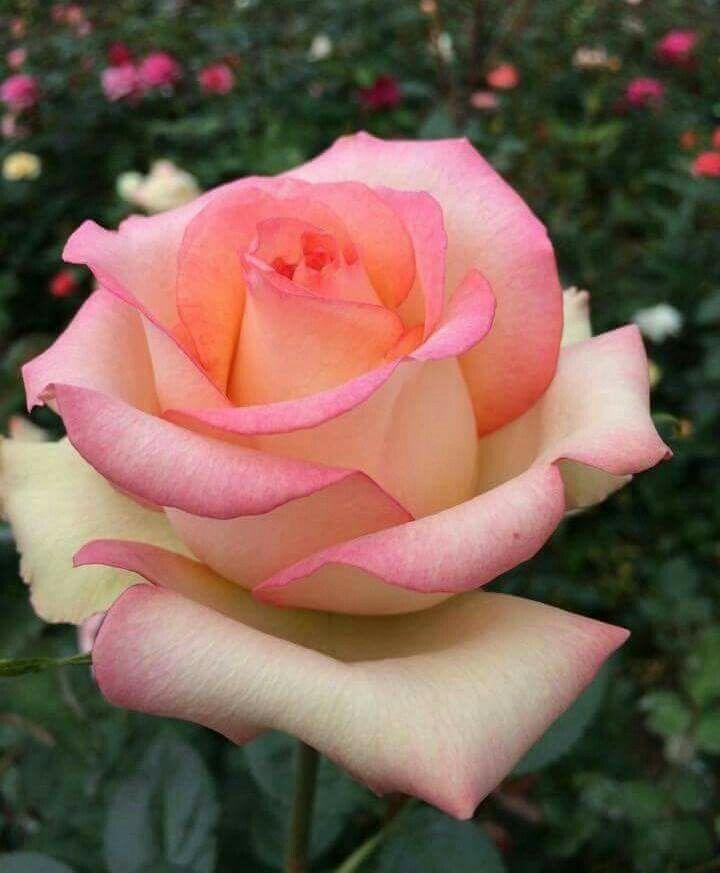 почему роза утопия фото отобрала только