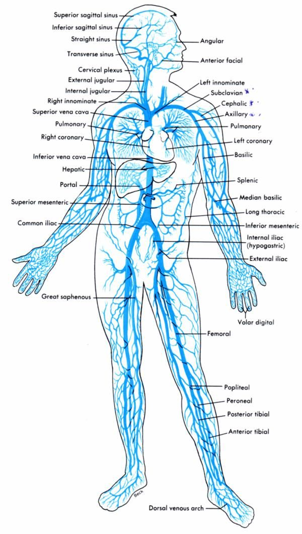 7 best Anatomy & Physiology images on Pinterest   Human body, The ...