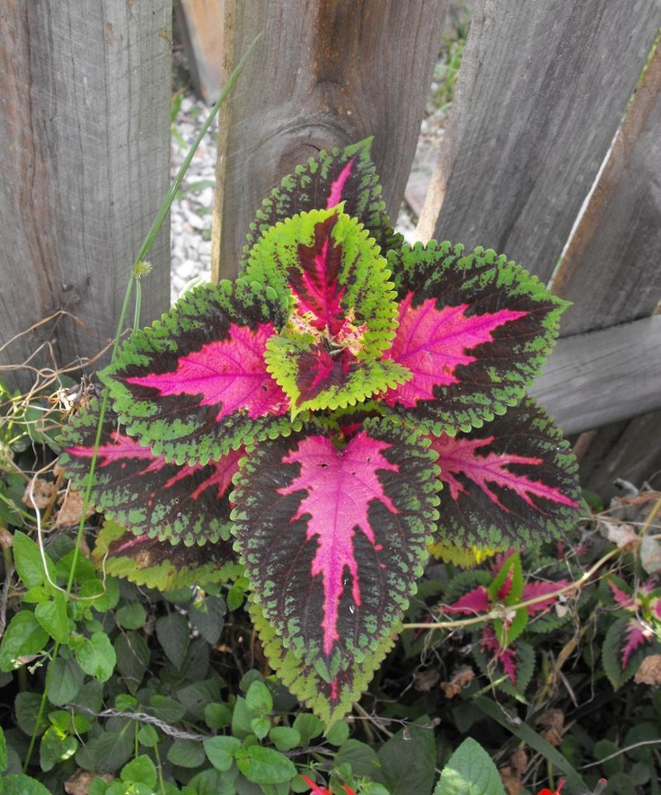 the feasibility of coleus blumei cv Plectranthus scutellarioides, commonly known as coleus, is a species of  flowering plant in the  kin are in the family urticaceae) the synonyms coleus  blumei and solenostemon scutellarioides are also widely used names for this  species.