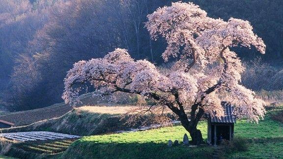 Çiçeklere Bürünmüş Ağaç #wallpaper #ilkbahar #spring #agac