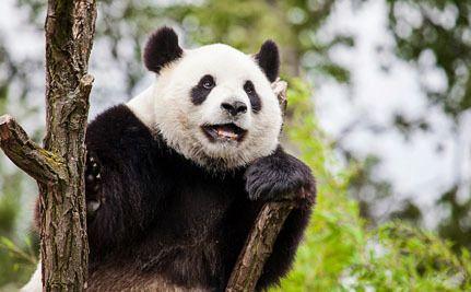 Illegal Logging is Destroying Protected Panda Habitat