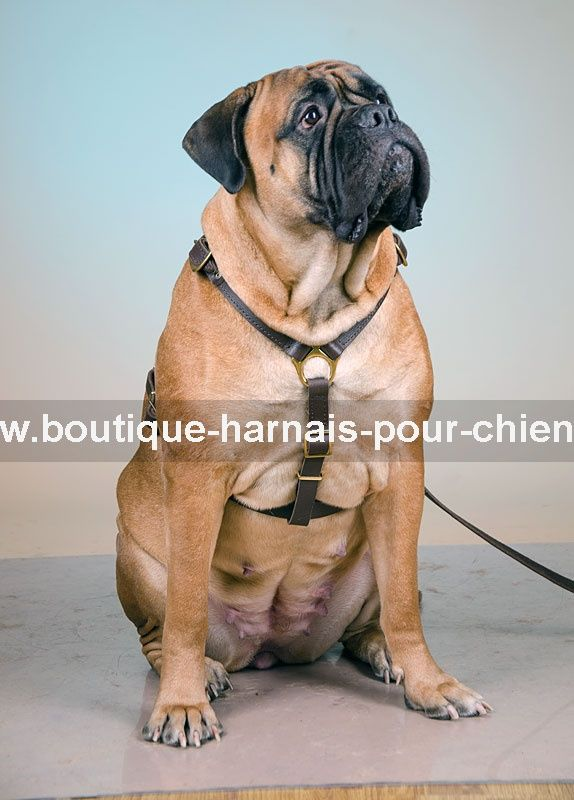 #Harnais anti traction en cuir feutré, conçu pour les promenades, sport canin et d'autres activités quotidiennes. Le réglage permet un ajustement précis pour pouvoir s'adapter à la morphologie du #Bullmastiff. ->54,35 €    @fordogtrainersf