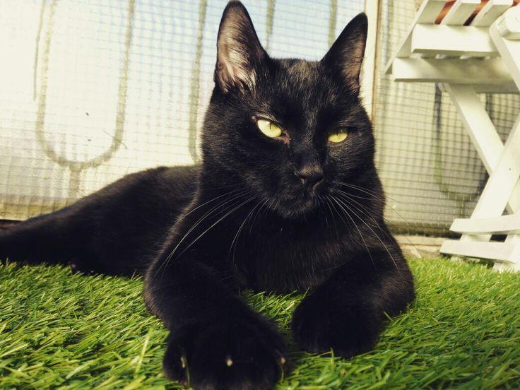 Calistrat, the tomcat