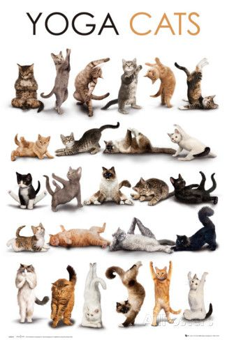 YOGA CATS Posters at AllPosters.com Cute and flexible. Our cat likes doing a swimmers pike position.