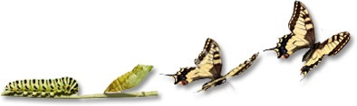 rups/vlinder