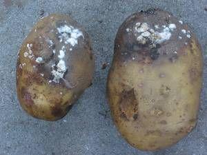 Картофель пораженный фитофторой Как бороться с фитофторой
