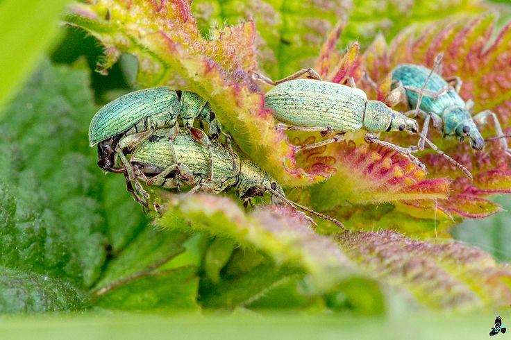 Snuitkever(s) - Preserving the Species - Weevil [Phyllobius calcaratus]