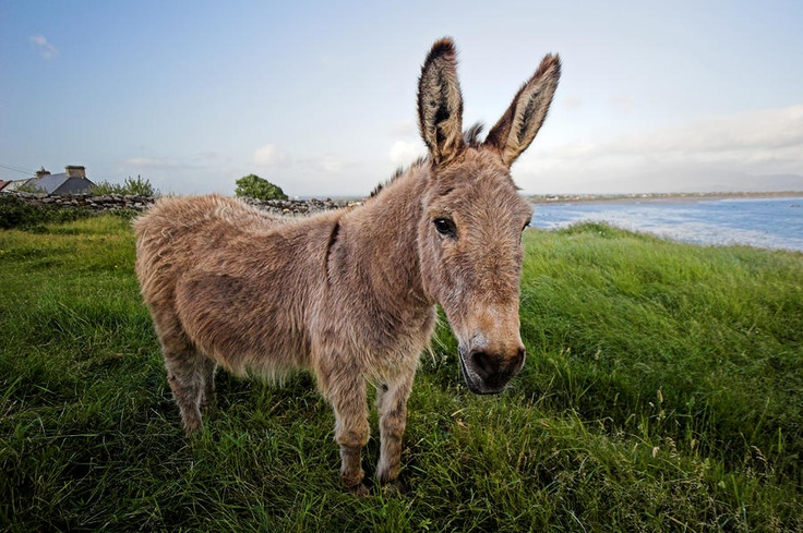 Kerry Donkey Ireland Photograph by Pierre Leclerc - Kerry Donkey Ireland Fine Art Prints and Posters for Sale