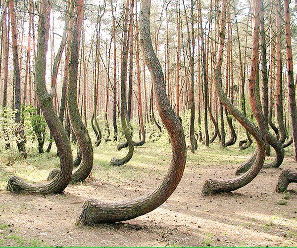The Crooked Forest - Poland                                                                                                                                                     More