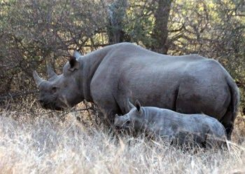 Black Rhino & Calf: a special sighting on a game walk