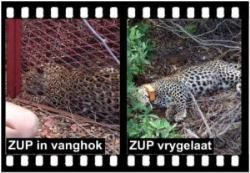 SHAYAMANZI Leopards ZUP - October 2014 Wildland Article