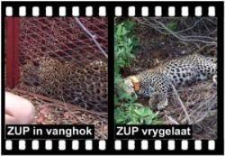 SHAYAMANZI Leopards ZUP - October 2014 Wildland Article