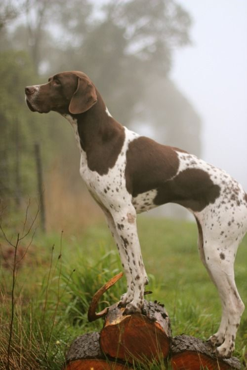 What a beautiful german shorthaired pointer ! #gsp #braqueallemand