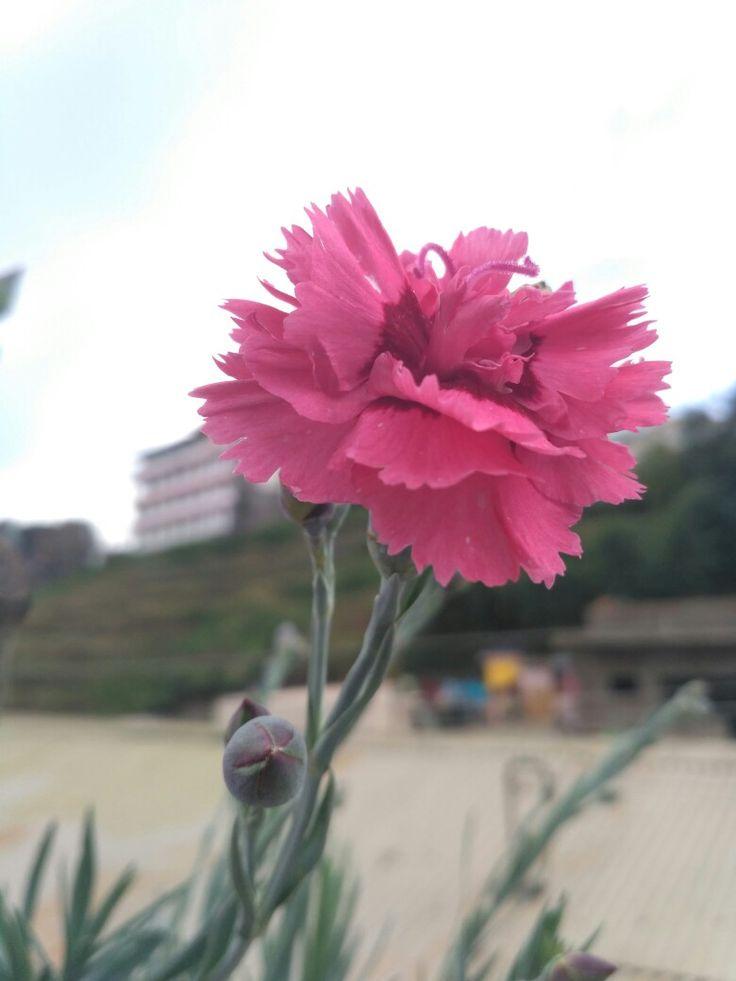 Garnation flower my favourite😉😃