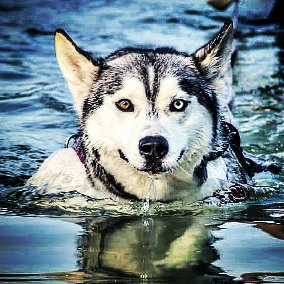 disappointed husky - photo #12