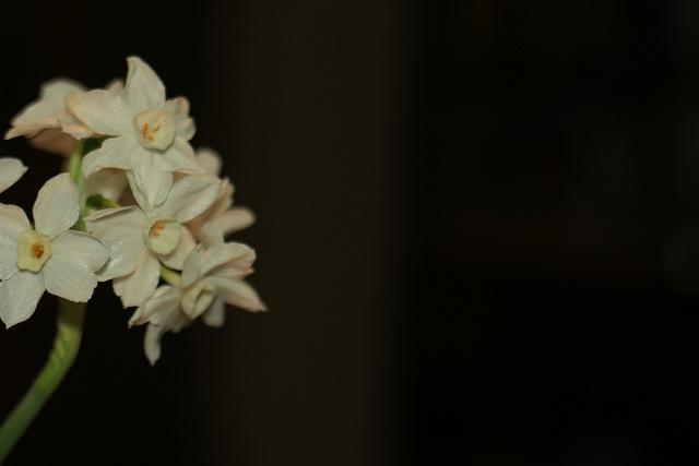 paperwhites by Caroline Thompson, via Flickr