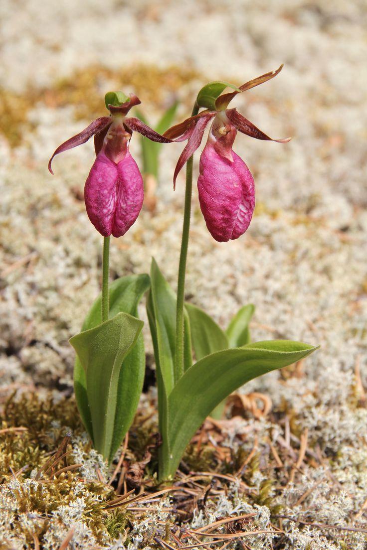 Cypripedium acaule --- Pink-Lady's Slipper