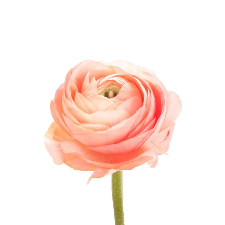 Coral Salmon Ranunculus | Flower Muse