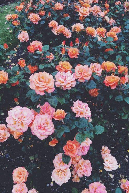 Immagine di flowers, rose, and wallpaper