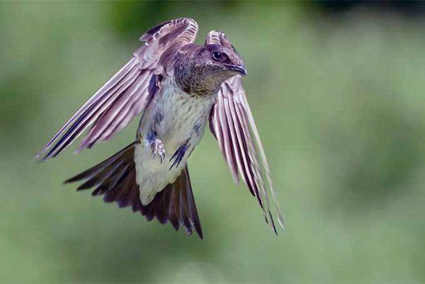 How To Attract Purple Martins To Your Garden Gardener S Path In 2020 Backyard Birds Watching Backyard Birds Sanctuary Purple Martin