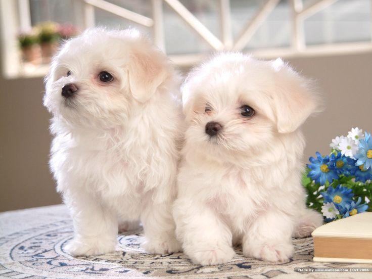 cute bischon frise puppies