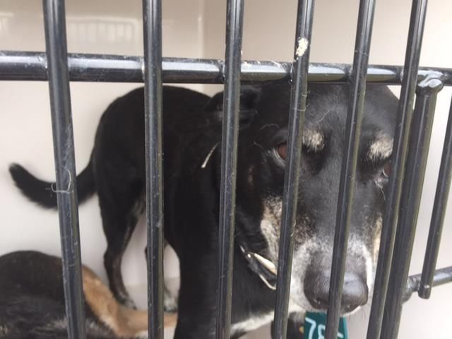 12/29/16-Houston - ** watch my video and take me home with you!!**This DOG - ID#A474419 I am a male, black and white Labrador Retriever and German Shepherd Dog. My age is unknown. I have been at the shelter since Dec 22, 2016. Harris County Public Health and Environmental Services. https://www.facebook.com/harriscountyanimalshelterpets/videos/1364587906938337/