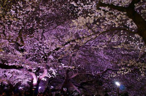 100万人が訪れる東京屈指の桜の名所!千鳥ヶ淵緑道の妖艶な夜桜! | 東京都 | [たびねす] by Travel.jp