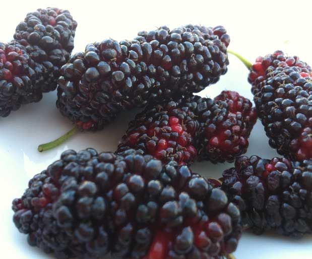"""Ağır İş Günlerine Destek """"DUT"""" DUT: Meyveleri beyaz ve kara olan dutun barındırdığı vitamin ve minerallerin yanında mikrop öldürücü özelliği vardır. Ayrıca dutun yaprakları ipek böceklerini beslemek için de kullanılır. Dutun Faydaları: Vücuda kuvvet verir, kansızlığa iyi gelir. Ağız, bademcik ve boğaz iltihabı, diş eti hastalıkları ve öksürüğe karşı faydalıdır. Ateş düşürür. Karaciğeri kuvvetlendirir. Mide ve bağırsakların düzenli çalışmasına yardım eder."""