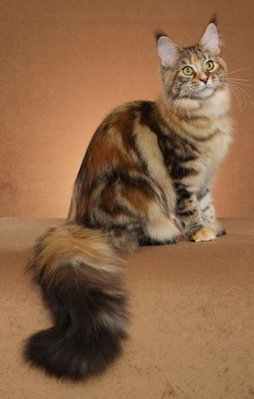 AnBella - Maine Coon Female - www.mainedelitecattery.com