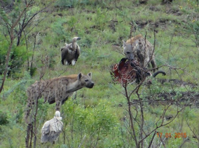 Hyenas and Vultures on a Durban safari Tour with Tim Brown Tours to Hluhluwe Imfolozi game reserve