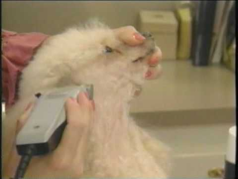 How To Groom A Poodle .......Instructional video